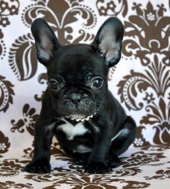 Teacup French Bulldog For Sale Florida