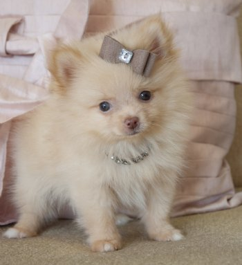 Teacup Pomeranian Prince 14 oz at 8 weeks Absolutely Adorable ...