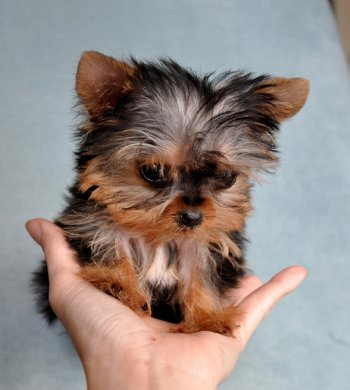 Teacup Puppies on Micro Teacup Yorkie Puppy 10oz   13 Weeks She Is Adorable