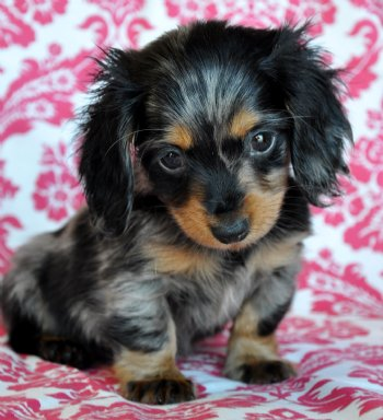 Tiny Dapple Mini Dachshund 1.6 lb at 8 weeks! Sold - Puppies For Sale