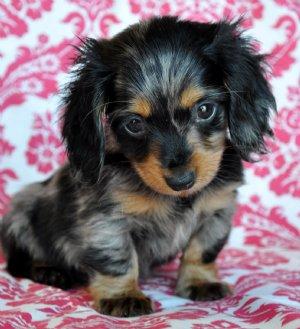 Information, Dapple Dachshund Puppies For Sale In Texas