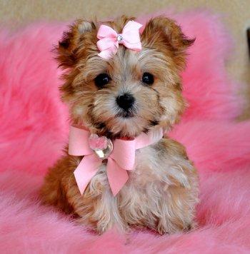 Morkie Puppies on Tiny Teacup Morkie Puppy Stunning Cinnamon Princess 1 9 Lb At 15 Weeks