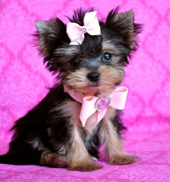 Morkie Puppies on Morkie Puppies