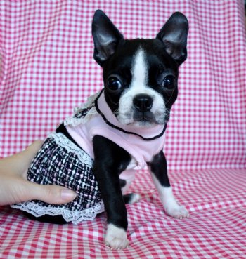 Tiny Toy Boston Terrier Puppy 1.9 lb at 8 weeks! SOLD! MOVING TO ...