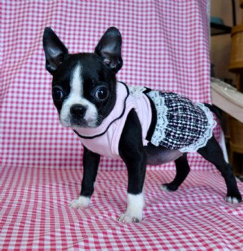 Tiny Toy Boston Terriers | Dog Breeds Picture