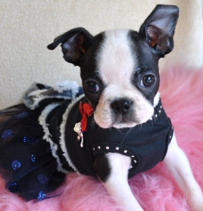 Boston Terrier Puppies on Tiny Toy Boston Terrier Puppy Adorable Little Girl 1 9 Lb At 8 Weeks