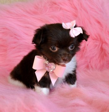 Chiuaua Puppies on Teacup Chihuahua Puppy 17 Oz Chocolate Princess Sold Moving To