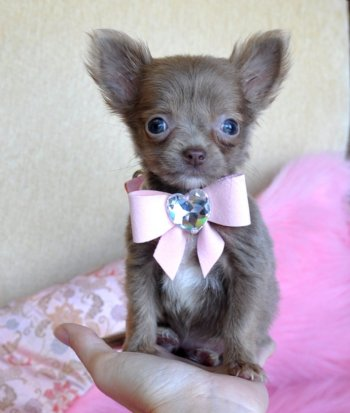 Teacup Chihuahua Puppies on Micro Teacup Chihuahua Puppy Wow Adorable Light Chocolate Princess 14