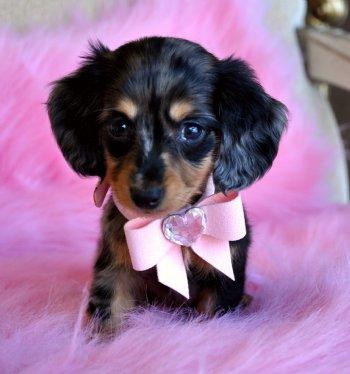 Miniature+dachshund+puppy+dapple