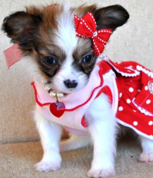 Papillon Puppies on Papillon Puppies