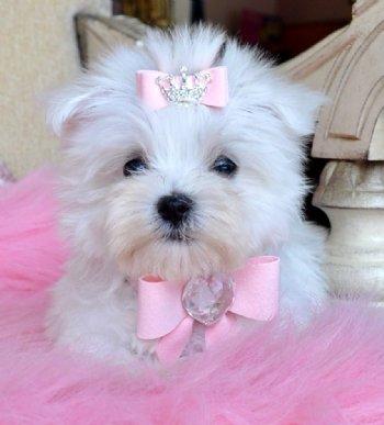 Maltese Dogs For Sale In Philadelphia
