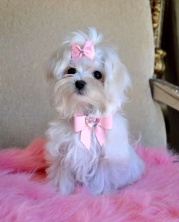 Teacup Maltese Puppies on Teacup Maltese Puppy Stunning Bright White Angel  Sold Moving To Ft