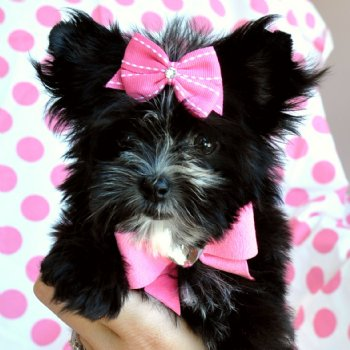 Tiny Teacup Morkie Black and White Princess 16 oz at 8 weeks SOLD ...