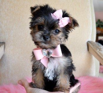 Morkie Puppies on Morkie Puppies