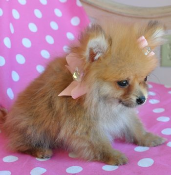 Teacup Pomeranian Puppies on Teacup Pomeranian Puppy 16 Oz Princess Sold Found Loving New Family