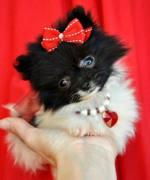 Miniature Pomeranian Puppies For Sale San Diego