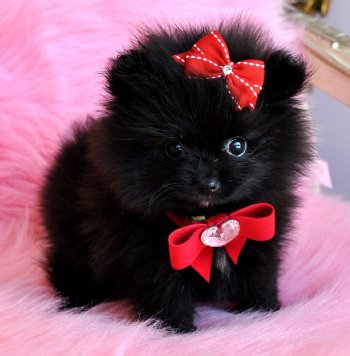 Tiny Teacup Black Pomeranian Princess WOW She is Amazing!! 16 oz at 10 ...