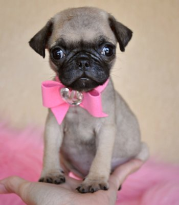 Puppies on Tiny Toy Pug Puppy Tiny  Tiny  Tiny Wow You Have To See Her To Believe