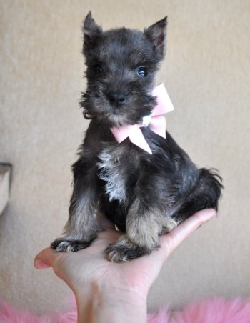 Puppies on Tiny Toy Schnauzer Puppy 1 9 Lb At 8 Weeks Sold  Found Loving