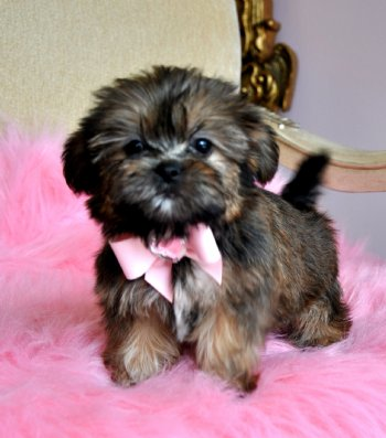 Shorkie Puppies on Tiny Shorkie Puppy Stunning Princess Wow Perfect Teddy Bear Face   1 8