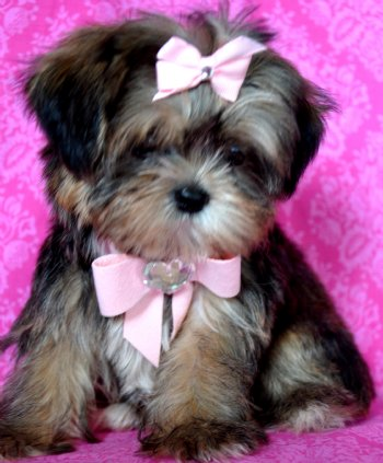 Shorkie Puppies on Tiny Shorkie Puppy Picture Perfect Princess She Is Out Of This World