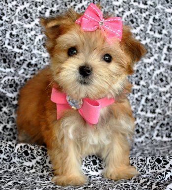 Morkie Puppies on Princess  Sold  Moving To New York    Morkie Puppies   Cassie S Closet