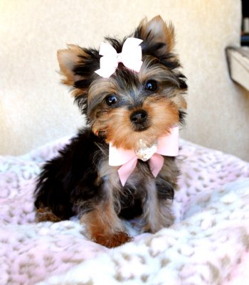 baby teacup yorkies for sale images amp pictures   becuo