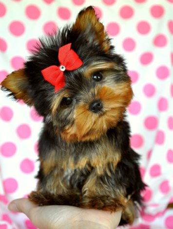 and for a letter to my dog founder lisa erspamer its yorkies so enjoy the pix of super cute pups just for you lisa e