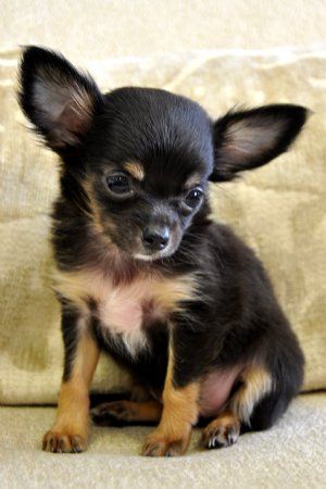 pictures of long haired chihuahua puppies. long haired chihuahua puppies