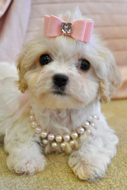 Cavachon Puppies on Cavachon Puppy Female Sold Moving To Jacksonville   Adopted Puppies
