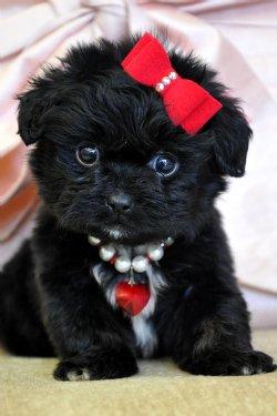 Peekapoo Puppies on And  Teacup Peekapoo Puppies For Sale