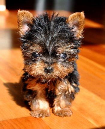 Micro Teacup Yorkie Puppy 9oz @ 11 weeks The Ultimate Valentine ...