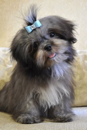 Lhasa Apso Puppies on Lhasa Apso Puppy Sold  Groomer Adopts Handsome Lhasa Apso