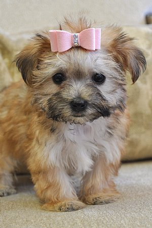 morkie puppies for sale Images