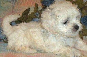 Peekapoo Puppies on Peekapoo Puppies For Sale Florida  Peekapoo Puppies For Sale Orlando