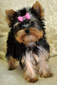 Yorkies+for+sale+in+florida