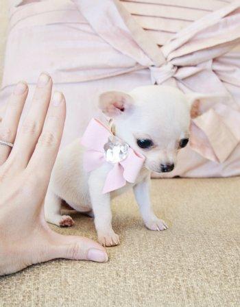 Micro Teacup White Chihuahua Princess 10 oz at 9 weeks ...