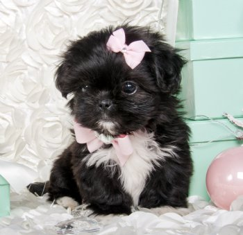 Stunning Tiny Black Amp White Shihtzu Princess Stunning
