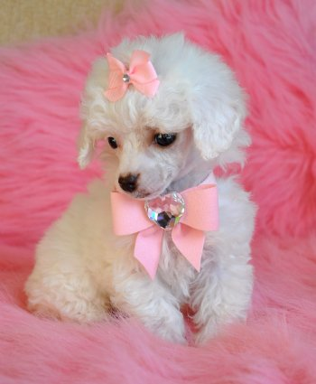 Tiny Teacup Poodle Snow White Princess Sold