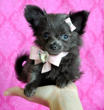 Tiny Teacup Blue Chihuahua Stunning Long Hair Princess 16 oz at 8 weeks   SOLD Found Loving New Family!
