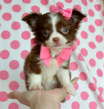 Tiny Teacup Chihuahua Puppy Stunning Chocolate And White Long Hair