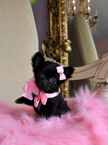 Tiny Teacup Chihuahua Adorable Black Princess Sold Moving to Merritt Island