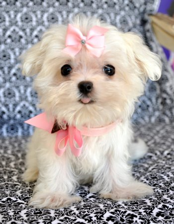 white yorkie puppy for sale tiny teacup maltese too cute for words stunning bright 8852