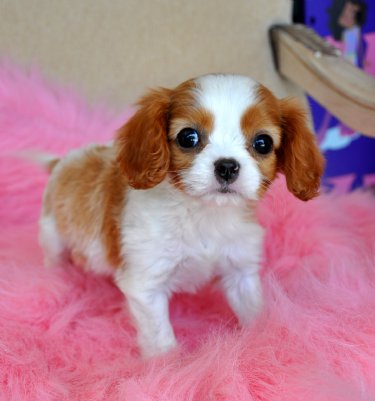 Tiny King Charles Spaniel Puppy Sold Moving To Panama City