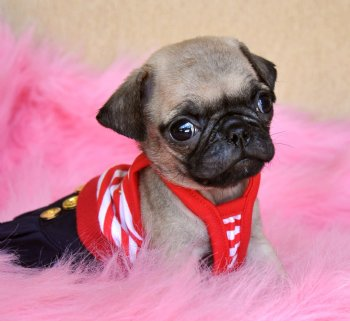 pug puppy florida tiny toy pug puppy tiny tiny tiny wow you have to see 2217