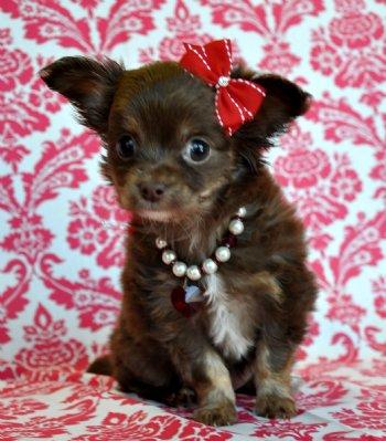 Tiny Chocolate Long Hair Chihuahua Princess Sold Moving To Sarasota