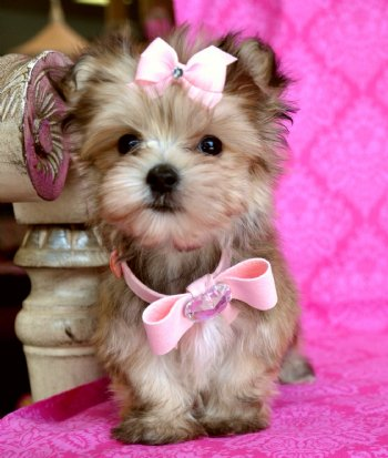 golden yorkie puppies pets puppys and pet videos on pinterest 9281