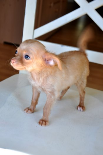 Tiny Teacup Chihuahua Beautiful Red Fawn Long Hair Princess 15 Oz At 8 Weeks Sold Moving To Iowa