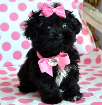 Tiny Peekapoo Puppy Adorable black Princess Amazing Lush Coat! 21 oz at 8  weeks! She is Breath Taking!!! SOLD Moving to Tampa