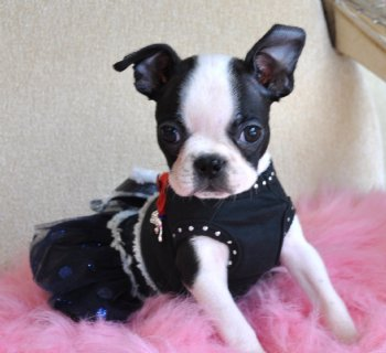 Tiny Toy Boston Terrier Puppy Adorable Little 1 9 Lb At 8 Weeks Perfectly Marked Sold Moving To Panama